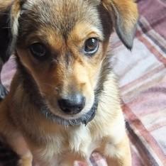 Dovanoju: šuo Gilė (mišrūnas, patelė) Vilnius