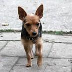 Dovanoju: šuo Čiuja (mišrūnas, patelė) Klaipėda
