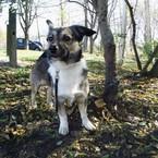 Dovanoju: šuo Reg.Nr. 498, (mišrūnas, patinėlis) Vilnius