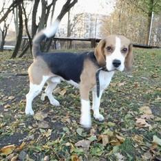 Dovanoju: šuo Reg.Nr. 499, (mišrūnas, patinėlis) Vilnius