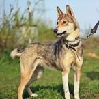 Dovanoju: šuo Stirna (mišrūnas, patelė) Utenos raj.