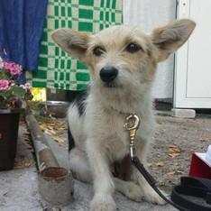 Dovanoju: šuo Džiuljeta (mišrūnas, patelė) Vilnius