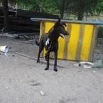 Dovanoju: šuo Juodoji (mišrūnas, patelė) Utenos raj.