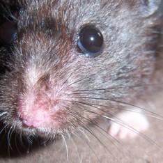 Dile (Žiurkėnas)